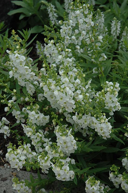 Archangel™ White Angelonia (Angelonia angustifolia \'Archangel White ...