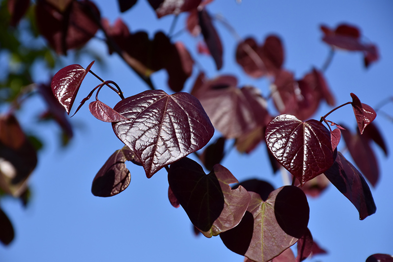 Merlot Redbud Cercis Canadensis At Green Acre Farm Nursery