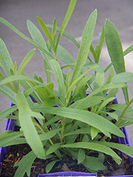 Russian Tarragon (Artemisia dracunculoides) at Green Acre Farm & Nursery