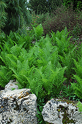 Ostrich Fern (Matteuccia strutheriopteris) at Green Acre Farm & Nursery
