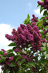 Charles Joly Lilac (Syringa vulgaris 'Charles Joly') at Green Acre Farm & Nursery
