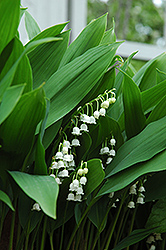 Lily-Of-The-Valley (Convallaria majalis) at Green Acre Farm & Nursery