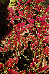 El Brighto Coleus (Solenostemon scutellarioides 'El Brighto') at Green Acre Farm & Nursery