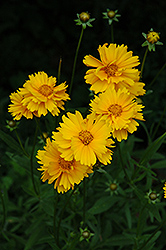 Early Sunrise Tickseed (Coreopsis 'Early Sunrise') at Green Acre Farm & Nursery