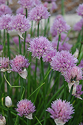 Chives (Allium schoenoprasum) at Green Acre Farm & Nursery