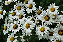 Alaska Shasta Daisy (Leucanthemum x superbum 'Alaska') at Green Acre Farm & Nursery