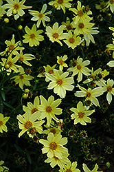 Creme Brulee Tickseed (Coreopsis 'Creme Brulee') at Green Acre Farm & Nursery