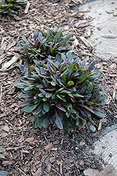 Chocolate Chip Bugleweed (Ajuga reptans 'Chocolate Chip') at Green Acre Farm & Nursery
