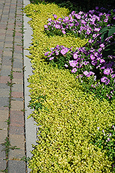 Golden Creeping Jenny (Lysimachia nummularia 'Aurea') at Green Acre Farm & Nursery