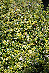 Lemon Thyme (Thymus x citriodorus) at Green Acre Farm & Nursery