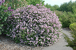 Dwarf Korean Lilac (Syringa meyeri 'Palibin') at Green Acre Farm & Nursery