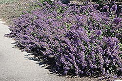 Walker's Low Catmint (Nepeta x faassenii 'Walker's Low') at Green Acre Farm & Nursery