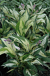 Revolution Hosta (Hosta 'Revolution') at Green Acre Farm & Nursery