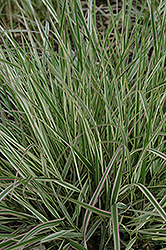 Variegated Reed Grass (Calamagrostis x acutiflora 'Overdam') at Green Acre Farm & Nursery