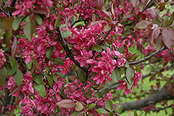 Profusion Flowering Crab (Malus 'Profusion') at Green Acre Farm & Nursery