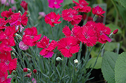 Neon Star Pinks (Dianthus 'Neon Star') at Green Acre Farm & Nursery