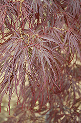 Garnet Cutleaf Japanese Maple (Acer palmatum 'Garnet') at Green Acre Farm & Nursery