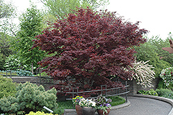 Bloodgood Japanese Maple (Acer palmatum 'Bloodgood') at Green Acre Farm & Nursery