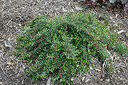 Little Gem Cotoneaster (Cotoneaster adpressus 'Little Gem') at Green Acre Farm & Nursery