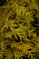 Vintage Gold Dwarf Moss Falsecypress (Chamaecyparis pisifera 'Vintage Gold') at Green Acre Farm & Nursery