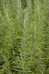 Upright Rosemary (Rosmarinus officinalis 'Upright') at Green Acre Farm & Nursery