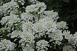 Purity Candytuft (Iberis sempervirens 'Purity') at Green Acre Farm & Nursery