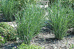 Cloud Nine Switch Grass (Panicum virgatum 'Cloud Nine') at Green Acre Farm & Nursery