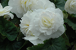 Nonstop® White Begonia (Begonia 'Nonstop White') at Green Acre Farm & Nursery