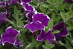 Rhythm And Blues Petunia (Petunia 'Rhythm And Blues') at Green Acre Farm & Nursery