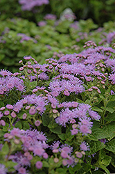 Artist Blue Flossflower (Ageratum 'Artist Blue') at Green Acre Farm & Nursery
