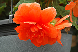 Nonstop® Orange Begonia (Begonia 'Nonstop Orange') at Green Acre Farm & Nursery