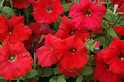 Easy Wave Red Petunia (Petunia 'Easy Wave Red') at Green Acre Farm & Nursery