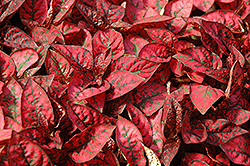 Splash Select Red Polka Dot Plant (Hypoestes phyllostachya 'Splash Select Red') at Green Acre Farm & Nursery