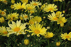 Butterfly Marguerite Daisy (Argyranthemum frutescens 'Butterfly') at Green Acre Farm & Nursery