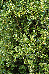 Cranberry Creek Boxwood (Buxus 'Cranberry Creek') at Green Acre Farm & Nursery
