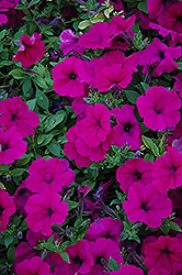 Wave Purple Petunia (Petunia 'Wave Purple') at Green Acre Farm & Nursery