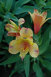 Ariane Alstroemeria (Alstroemeria 'Ariane') at Green Acre Farm & Nursery
