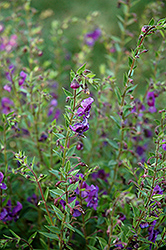 Angelina Deep Plum Angelonia (Angelonia angustifolia 'Angelina Deep Plum') at Green Acre Farm & Nursery
