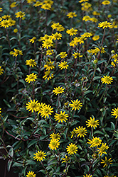 Tsavo Golden Yellow Creeping Zinnia (Sanvitalia procumbens 'Tsavo Golden Yellow') at Green Acre Farm & Nursery