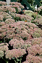 Autumn Fire Stonecrop (Sedum spectabile 'Autumn Fire') at Green Acre Farm & Nursery