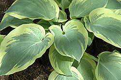 Northern Exposure Hosta (Hosta 'Northern Exposure') at Green Acre Farm & Nursery