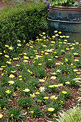 Voltage™ Yellow African Daisy (Osteospermum 'Voltage Yellow') at Green Acre Farm & Nursery