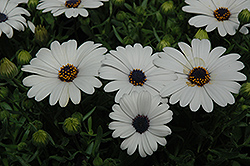 Serenity White African Daisy (Osteospermum 'Serenity White') at Green Acre Farm & Nursery