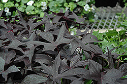 Blackie Sweet Potato Vine (Ipomoea batatas 'Blackie') at Green Acre Farm & Nursery