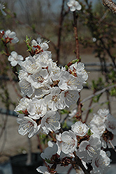 Sungold Apricot (Prunus 'Sungold') at Green Acre Farm & Nursery