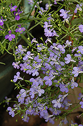 Laguna® Sky Blue Lobelia (Lobelia erinus 'Laguna Sky Blue') at Green Acre Farm & Nursery