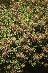 Purple Stream Sweet Alyssum (Lobularia maritima 'Purple Stream') at Green Acre Farm & Nursery
