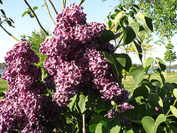 Monge Lilac (Syringa vulgaris 'Monge') at Green Acre Farm & Nursery