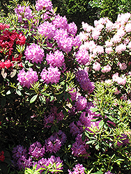 Boursault Rhododendron (Rhododendron catawbiense 'Boursault') at Green Acre Farm & Nursery