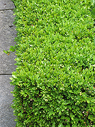 Green Velvet Boxwood (Buxus 'Green Velvet') at Green Acre Farm & Nursery